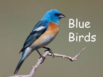 """Blue Birds Nonfiction PowerPoint """"Book"""" for First or Second Grade"""