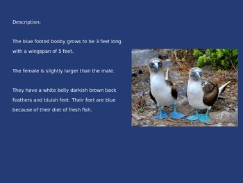 Blue Footed Booby - Bird - Power Point Information Pictures Facts