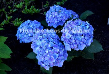 Blue Hydrangea Stock Photo #98
