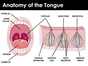 Body Senses - The Tongue and Taste