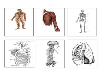Body System Chart and Flash Cards