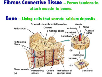 Body Tissues - Connective, Epithelial, Muscle and Nervous (Editable)