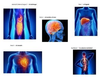 Body parts in spanish