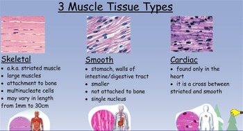Bone Muscle Integument