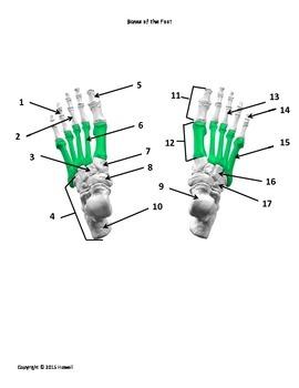 Bones of the Foot Identification Quiz or Worksheet