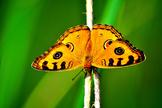 Bonita Butterfly