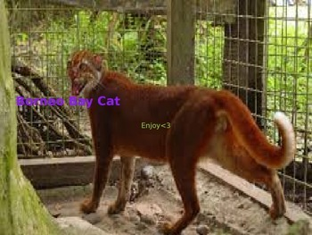 Borneo Bay Cat - Power Point - Facts History Pictures