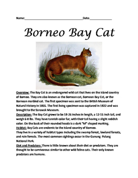 Borneo Bay Cat - Review article lesson facts questions vocabulary