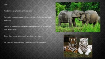 Borneo Elephant - Power Point - Facts Information Pictures Endangered Animal