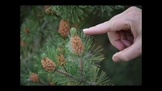 Botany Conifer Forms