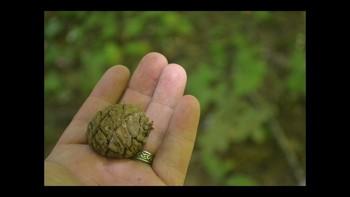 Botany Conifer Forms