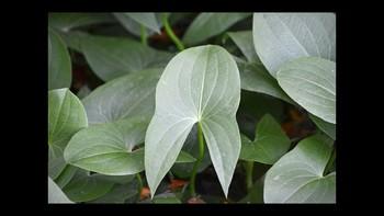 Botany Leaves