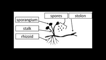 Botany Zygomycota