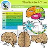 Brain Clip Art - Regions and Structures - Brain Waves