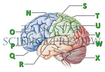 Brain Crossword with Diagram {Editable}