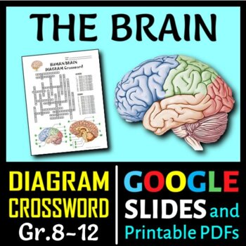 Brain crossword with diagram editable by tangstar science tpt brain crossword with diagram editable ccuart Choice Image