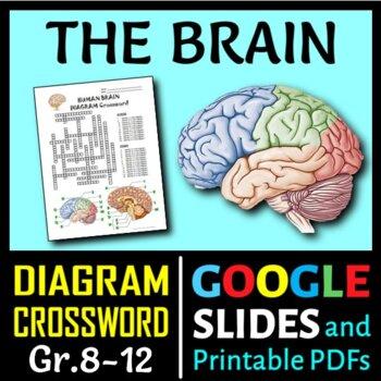 Brain Crossword with Diagram {Editable} by Tangstar ...