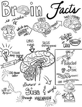 Brain Diagram & Sketch Notes BUNDLE!- Great for Practice&Differentiation!