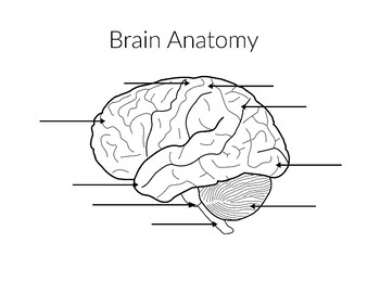 30 Label The Lobes Of The Brain - Label Ideas 2020
