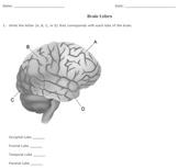 Brain Lobe Diagram Printable