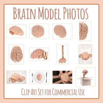 Brain (Model Brain) Photos / Photograph Clip Art for Commercial Use