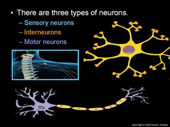 Nervous System Lesson