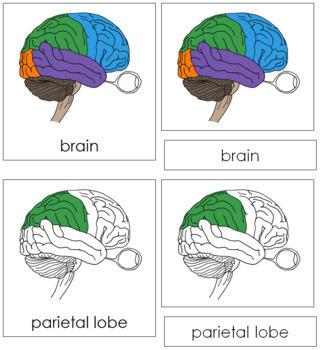 Brain Nomenclature Cards