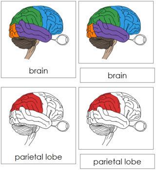 Brain Nomenclature Cards (Red)