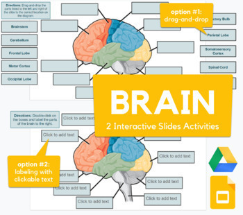 Brain Parts - Drag-and-drop with Google Slides