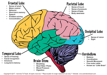 Cosy Brain Parts Worksheets About Lobes Of the Brain Worksheet ...