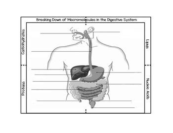 Breaking Down of Macromolecules in Digestion