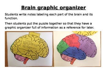 Brain Graphic Organizer and Puzzle