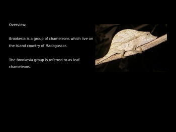 Brookesia - smallest lizard - power point - information pictures