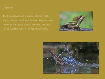 Brown Basilisk - walk on water lizard Power Point Information Pictures