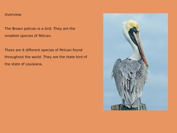 Brown Pelican - Bird Power Point Information Facts Pictures