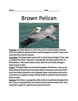 Brown Pelican - Review Article lesson information facts questions vocabulary