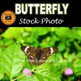 Buckeye Butterfly Stock Photo #276