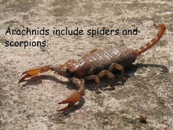 """Bugs Nonfiction PowerPoint """"Book"""" for First or Second Grade"""