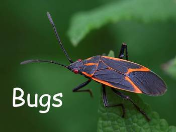 "Bugs Nonfiction PowerPoint ""Book"" for First or Second Grade"