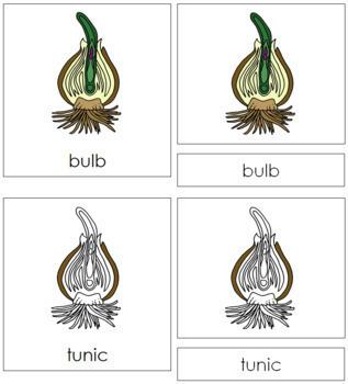 Bulb Nomenclature Cards