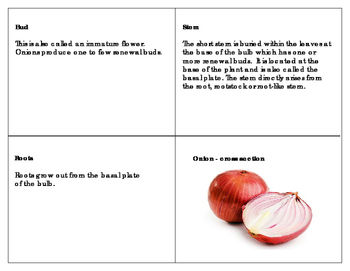 Bulbs: Parts of an Onion - Three Part Cards