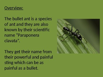 Bullet Ant - Power Point information facts pictures - strongest sting