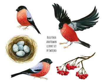 Bullfinch clipart set