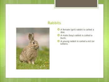 Bunnies Powerpoint