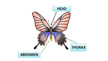 Butterflies for Little Learners