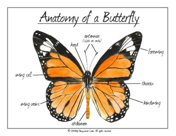 Parts Of A Butterfly Worksheet For Kindergarten