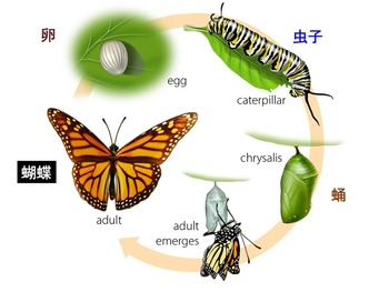 Butterfly Life Cycle by Rubymama Mandarin Learning | TpT