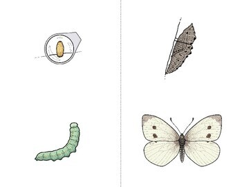 Butterfly Life Cycle - FULL COLOR Sequencing Cards