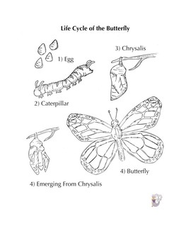 Butterfly Life Cycle Handout