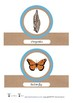 Butterfly Life Cycle Order